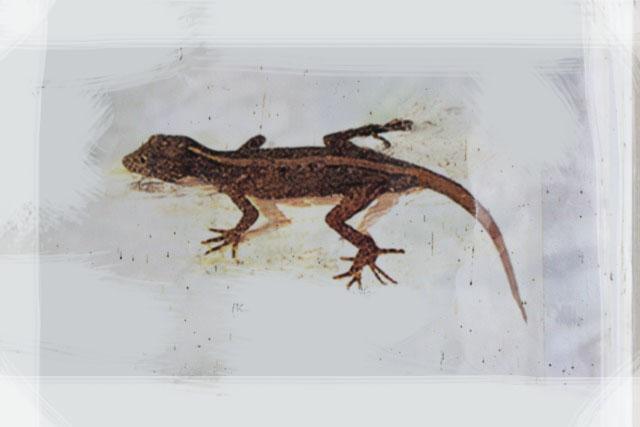 Lizards, Dragons and Tortoise of Sri Lanka (fresh water). - IMG_3858